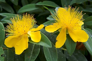 Does-St-Johns-Wort-Help-With-Depression