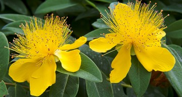 Does St. John's Wort Help With Depression?